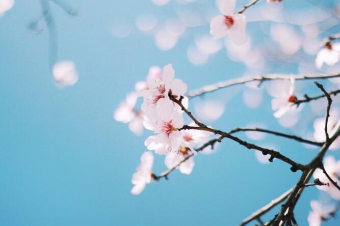 Fotografía, sesión de almendros en flor en Madrid